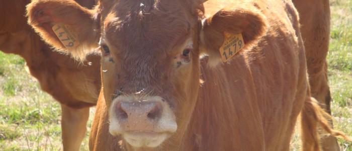 Combien de litres de lait produit par jour une vache ?
